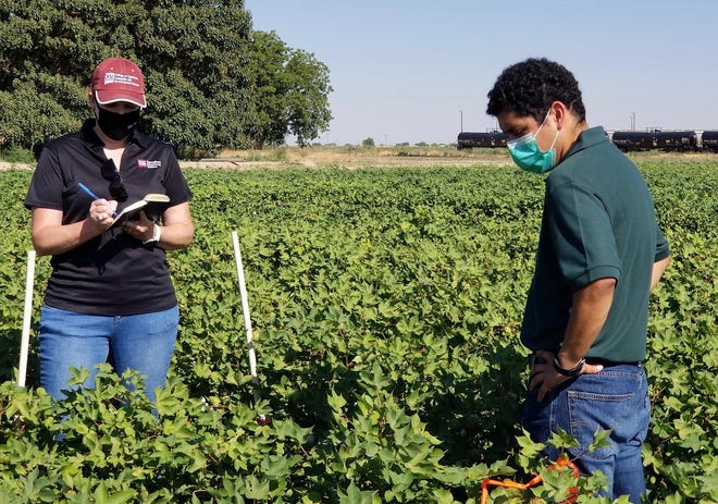 Graduate entomology student Ivan Tellez, right, explains his thesis research on bollworm control in an arid microclimate to Leslie Edgar, New Mexico State University College of Agricultural, Consumer and Environmental Sciences associate dean and director of research. Tellez is one of two NMSU graduate students to win awards for their research presentations at the 2021 International Arid Lands Consortium Conference.