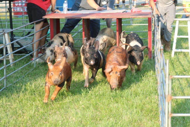 The All American Pig Races spent this week at the Ottawa County Fair, where young swine went hog wild as they made a dash for an animal cracker.