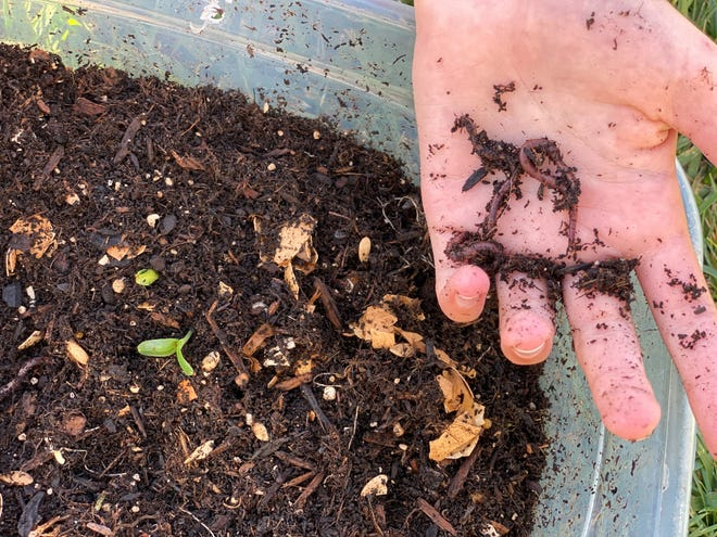 In one popular online lesson from 4-H, educators present worm composting, turning food waste into usable compost for the garden. Students observe live red wiggler worms and participate in building a worm bin.