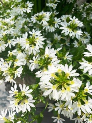 Surdiva White Scaevola, fan flower