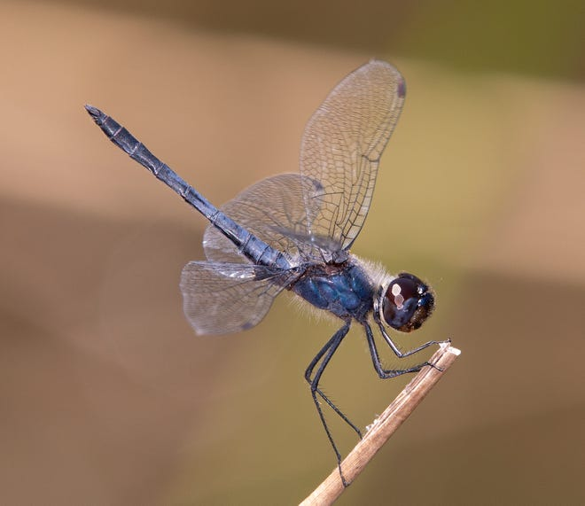 A male double-ringed pennant