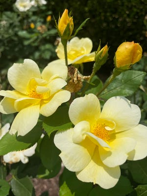 Sunny Knock Out Shrub Rose, Sunny Knock Out
