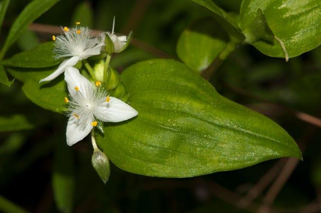 A close-up of small-flowered spiderwort (Tradescantia fluminensis) flowers.