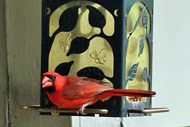 When cardinals appear, angels are near.