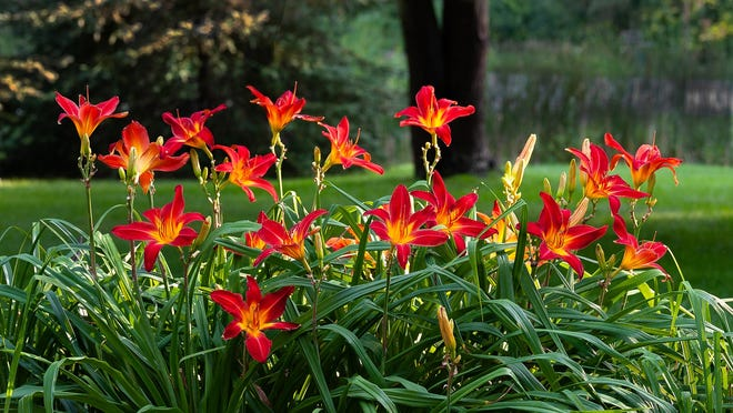 Daylilies are a blooming wonder during the summer months.