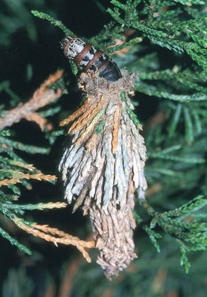 Bagworms are one of the common pests showing up in landscapes now.