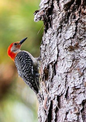 A Read-bellied woodpecker j
