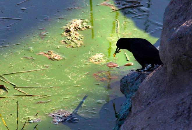 Thick blue green algae at the Pahokee Marina on Lake Okeechobee Wednesday, April 28, 2021.