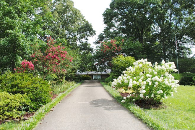 From this vantage point at the bottom of the driveway, looking up, the large Limelight hydrangea is the only visible hydrangeas but there are plenty more across the driveway. On the other side, six smaller hydrangeas grow beneath the lovely red-flowering crape myrtles.
