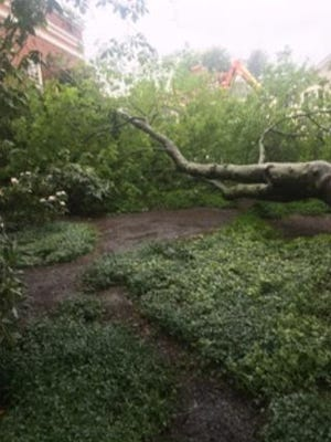 The yellowwood tree on the Main Street side of the Concord Free Public Library was a victim of tropical storm Elsa.