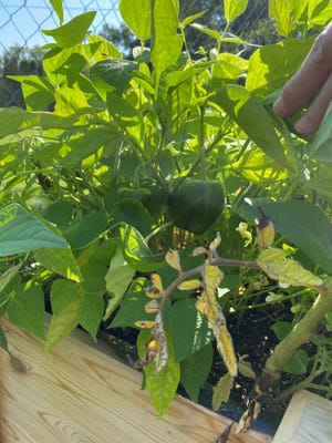 Green peppers are shown in a home garden.
