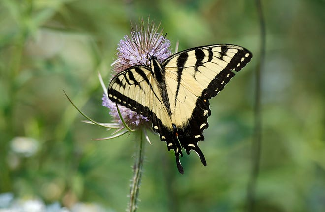 A tiger swallowtail butterfly lands on the habitat along the Prairie Trail at Byers Woods on Tuesday, July 27, 2021. TOM E. PUSKAR/TIMES-GAZETTE.COM