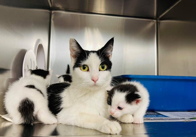 The Boone Area Humane Society is seeking foster homes for its animals due to its swelling population. Pictured is a mama cat and kittens recently brought into the shelter after being discovered in someone's garage.