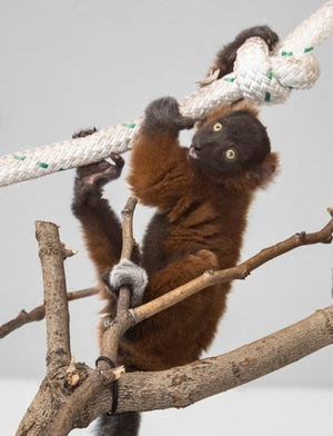 The baby red ruffed lemur born June 2 at Lee Richardson Zoo has been named Mafy by the zoo's staff. The baby boy's gender was revealed in a recent event.