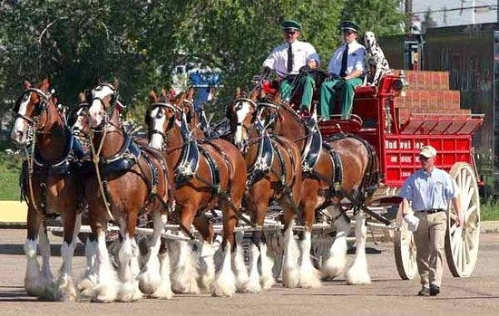 The Budweiser Clydesdale team.