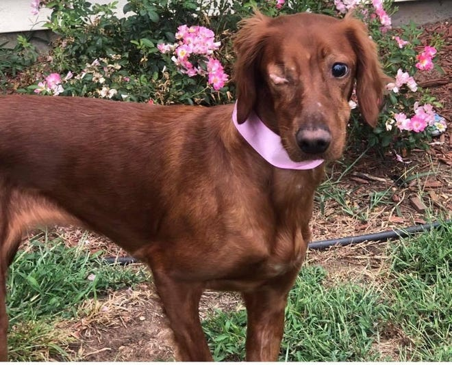 This red Irish setter named Lucy was blinded last year by a shotgun blast.