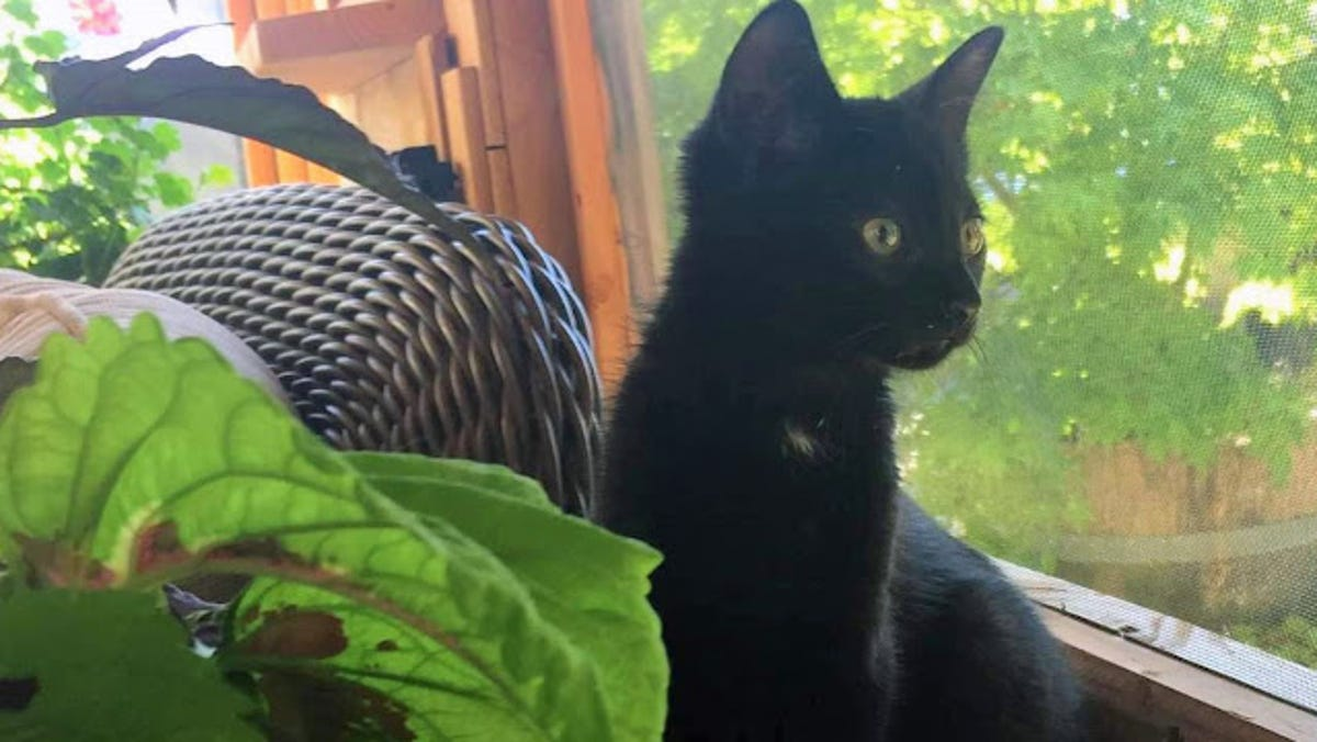 'Lucky' black cat found clinging to Hood Canal bridge gets new home