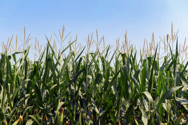 Corn grows in a field on Tuesday, July 27, 2021 in southeastern Sioux Falls.