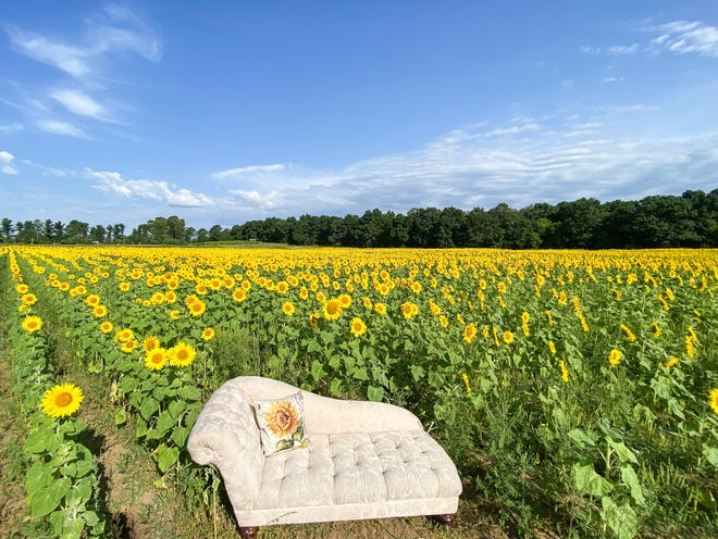 A possible photo op in a field of sunflowers at Kuckuk Farms in Wild Rose.