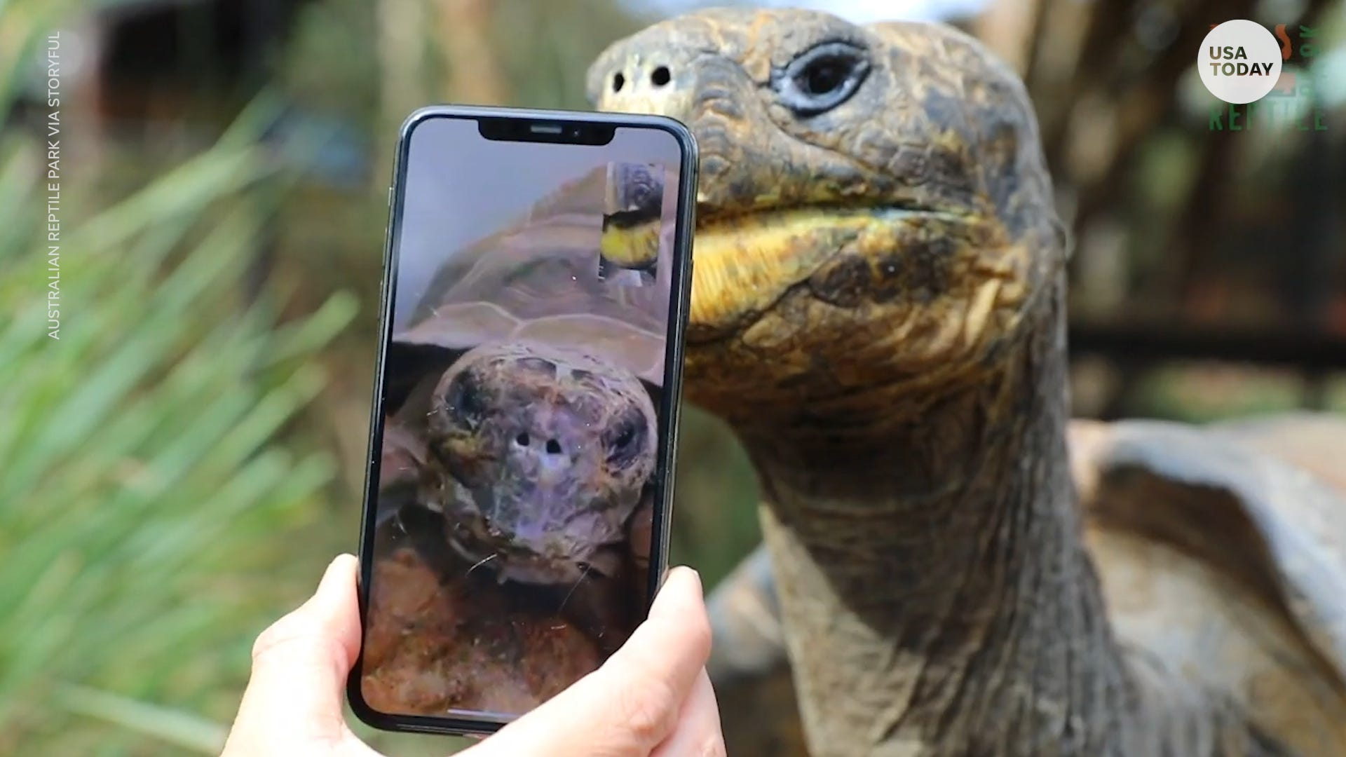 Pair of endangered Galapagos tortoises go on their first date via FaceTime