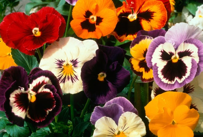 You can plant pansies in August for color carrying gardens into fall.