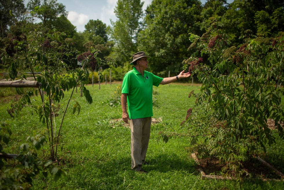 Frank Walton inspects an elderberry plant at his experimental garden called Graceland Orchard in Columbia, Tenn., on Tuesday, July 27, 2021.
