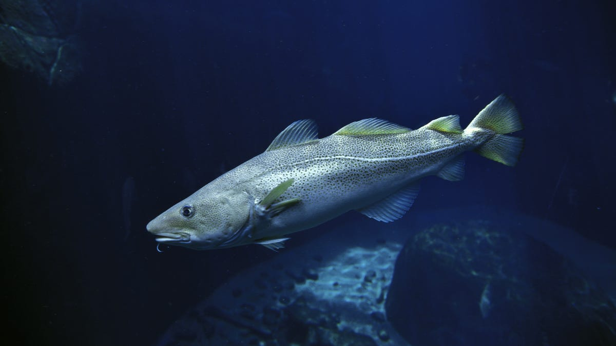 Where have all the codfish in the Gulf of Maine gone?