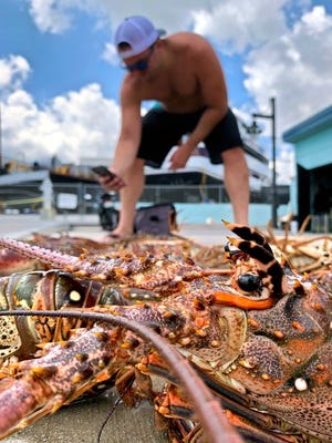 Mike Loving photographs lobsters at the Riviera Beach Marina which he and Eric Hammer collected during a dive trip on the Narcosis Wednesday morning, July 27, 2021. The 48-hour lobster mini-season began at 12:01 a.m.
