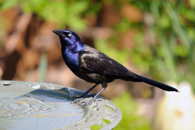 The common grackle is one of the affected species.