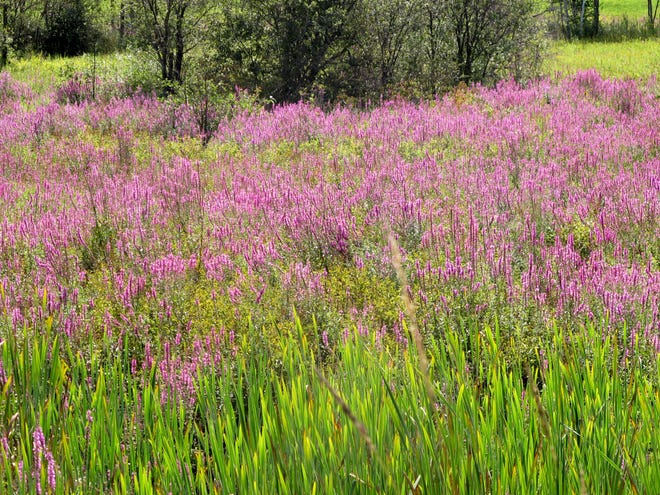 Purple loosestrife is beautiful, but it can take over a wetland and will also grow in dry places if given the chance.