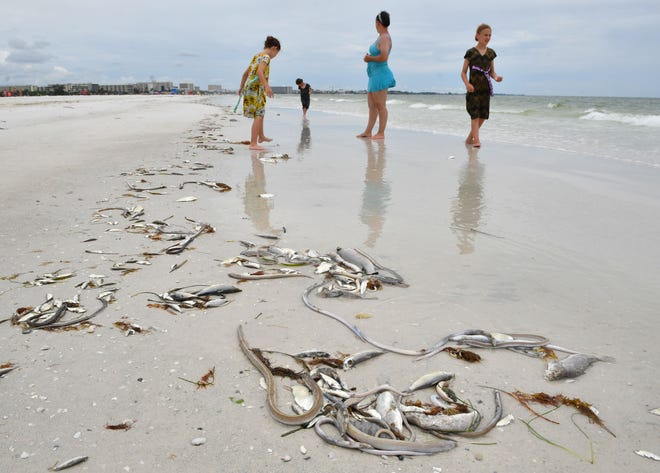A family, visiting Sarasota from Pennsylvania, steps around dead fish as they walk in the surf just west of Siesta Public Beach in July. Red tide has been a serious water quality issue for Sarasota County this year.