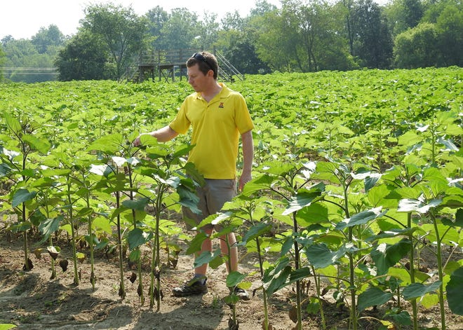 Ryan McPeek of the Coshocton KOA Campground inspects fields for the upcoming fourth annual Coshocton Sunflower Festival. Fifty different types were planted over 40 acres and could produce up to 80,000 flowers.