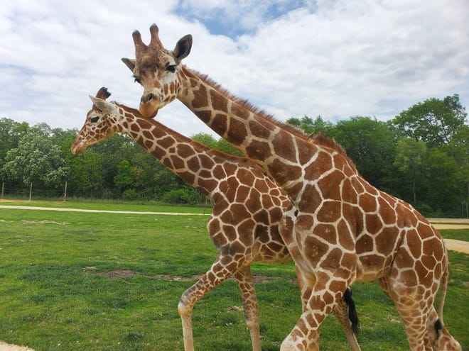 In 2021 giraffes joined other animals including zebras and water buffalo at Safari Lake Geneva, a drive-through wildlife park outside Lake Geneva.