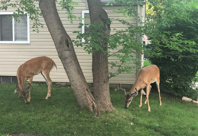 In many Oakland County neighborhoods, dealing with deer is part of life.