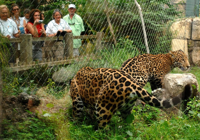Jacksonville Zoo staff members, volunteers and patrons stand behind a wooden railing and fence as they watch jaguar cub Harry, right, interact with his mother in 2009.