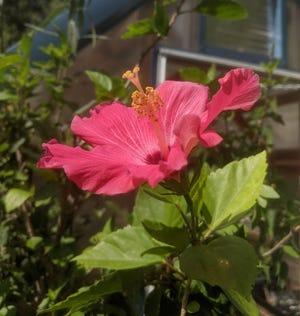 Hibiscus loving the heat