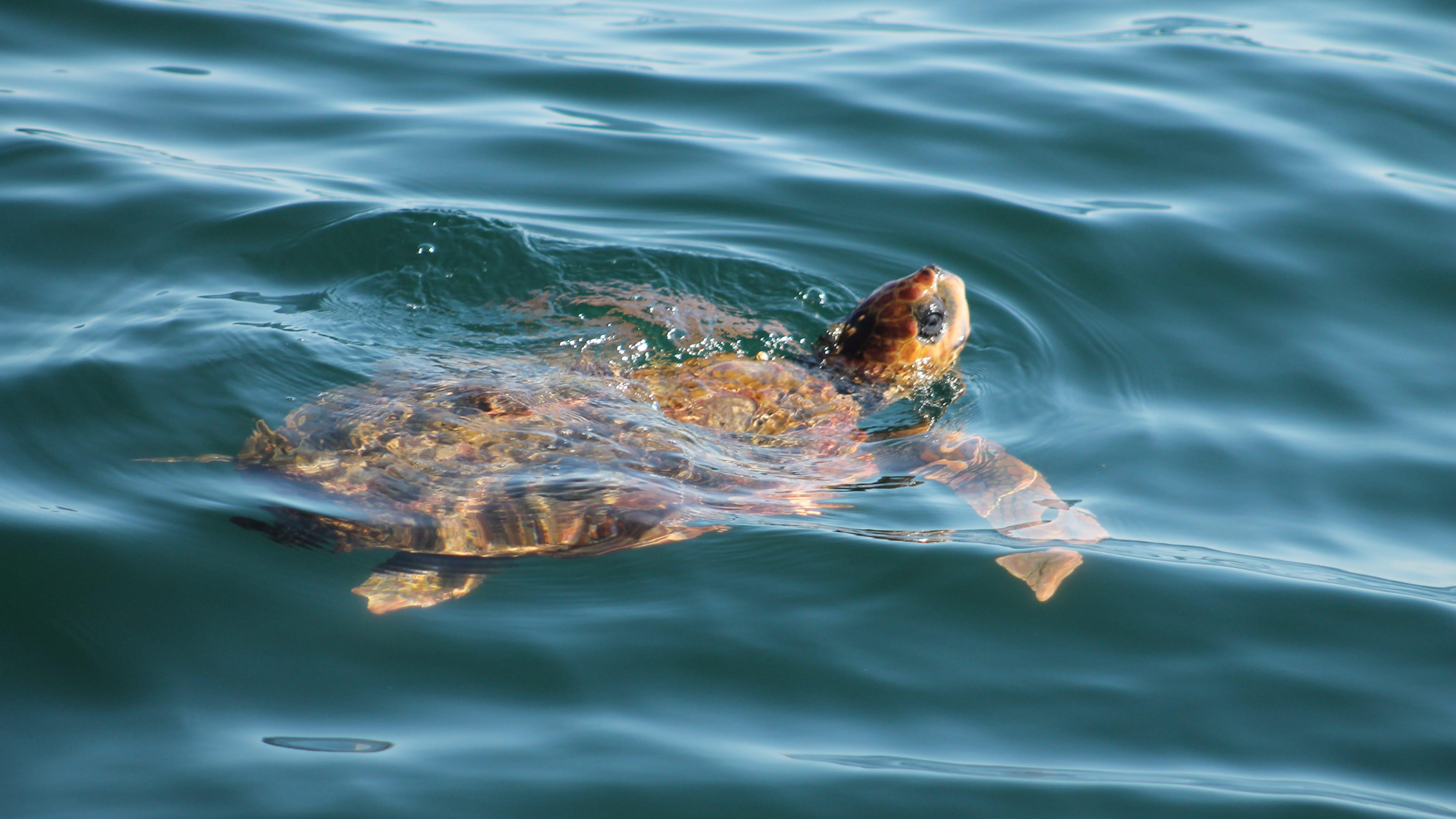 Loggerhead turtle found in Westport died from a boat propeller strike.