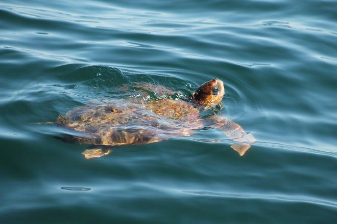 Free swimming loggerhead off Newburyport in 2016.