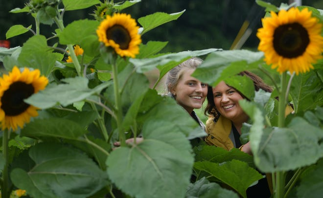Sisters Ryann Girouard, left, and Emily Paquette among a row of sunflowers at Lone Birch Blossoms in Hardwick.
