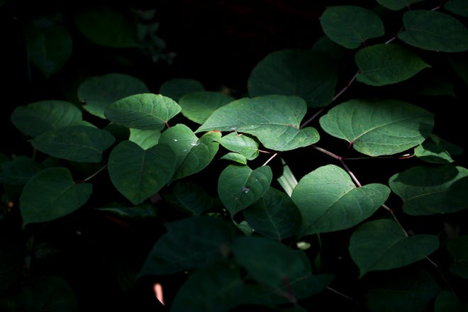 Japanese knotweed is seen at a home on North Booth Street in Milwaukee.