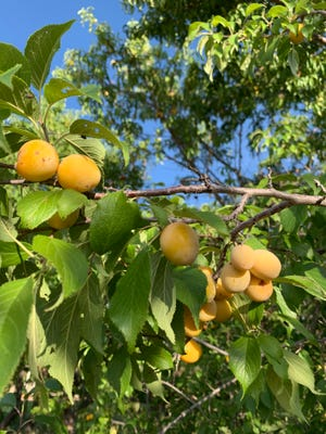Prairie Red plums ripening at the NMSU Agricultural Science Center at Los Lunas on July 29, 2021.