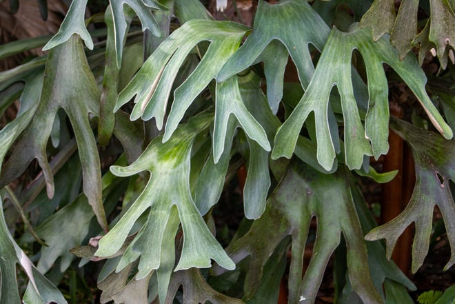 The lush growth of a giant staghorn fern. This is no ordinary fern.