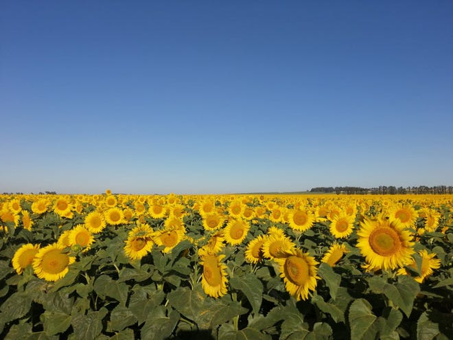 Nitrogen deficiency can limit sunflower yield and quality.