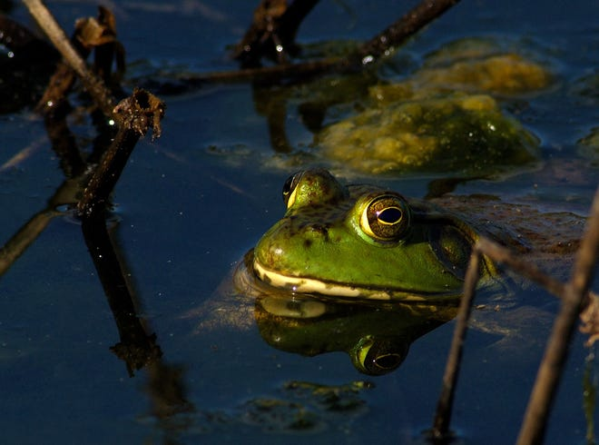 The Kansas Department of Wildlife and Parks posted this photo of a bullfrog recently to accompany a post on its Facebook page encouraging people to go bullfrog hunting.