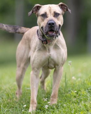 This week's featured pet from the White River Humane Society is Rye. Rye is a happy, energetic girl. She is very playful and walks well on a leash. A 1-year old Mastiff mix, she might be best with animals of her own size and energy level. Rye has been spayed, is current on all shots and is ready for her forever home. To meet Rye, stop by the WRHS on Pumphouse Road Tuesdays and Fridays from noon to 5 p.m. and Saturdays from noon to 4 p.m. and by appointment on Mondays and Thursdays. The shelter is closed Wednesday and Sunday.