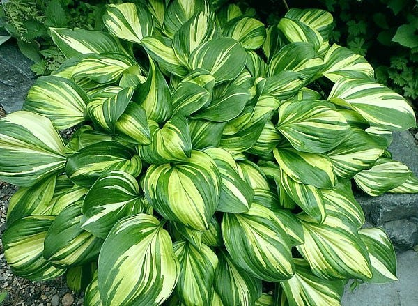 """2021 Hosta of the Year """"Rainbow's End"""" originated by H. Hanson 2005."""