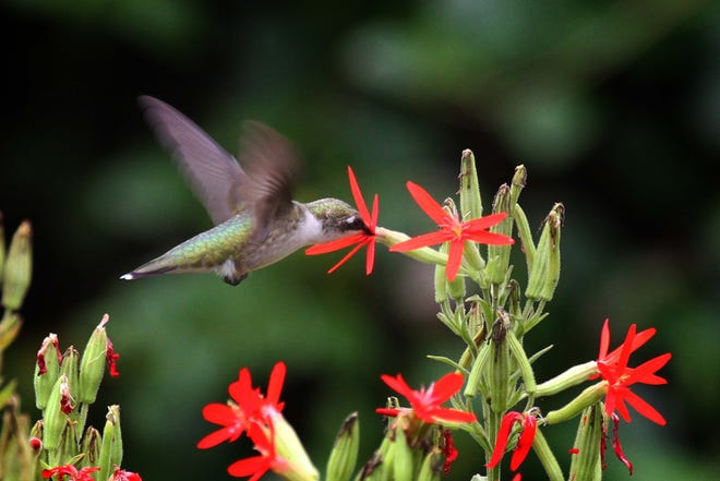 Ruby-throated Hummingbird nectars on native royal catchfly blossoms.