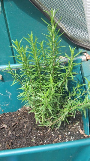 Rosemary has many positive attributes for the body, and can be made into a tasty tea.