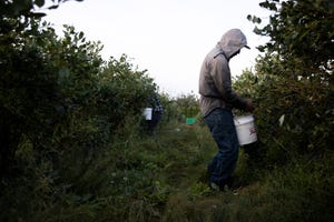 Hector Lopez-Cruz shakes blueberries from the branches into a bucket at Berries NW in Albany, Oregon on Friday, July 30, 2021.