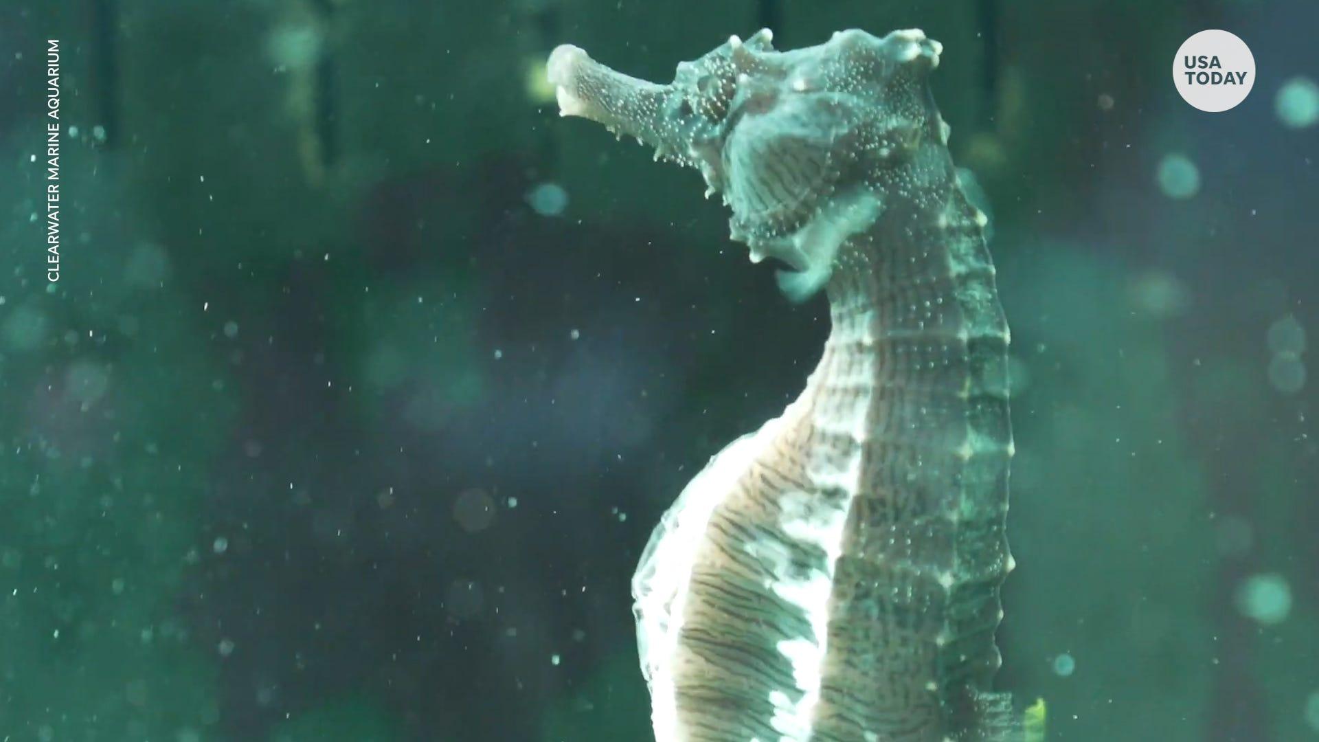 Rescued seahorse had quite the surprise for veterinarians